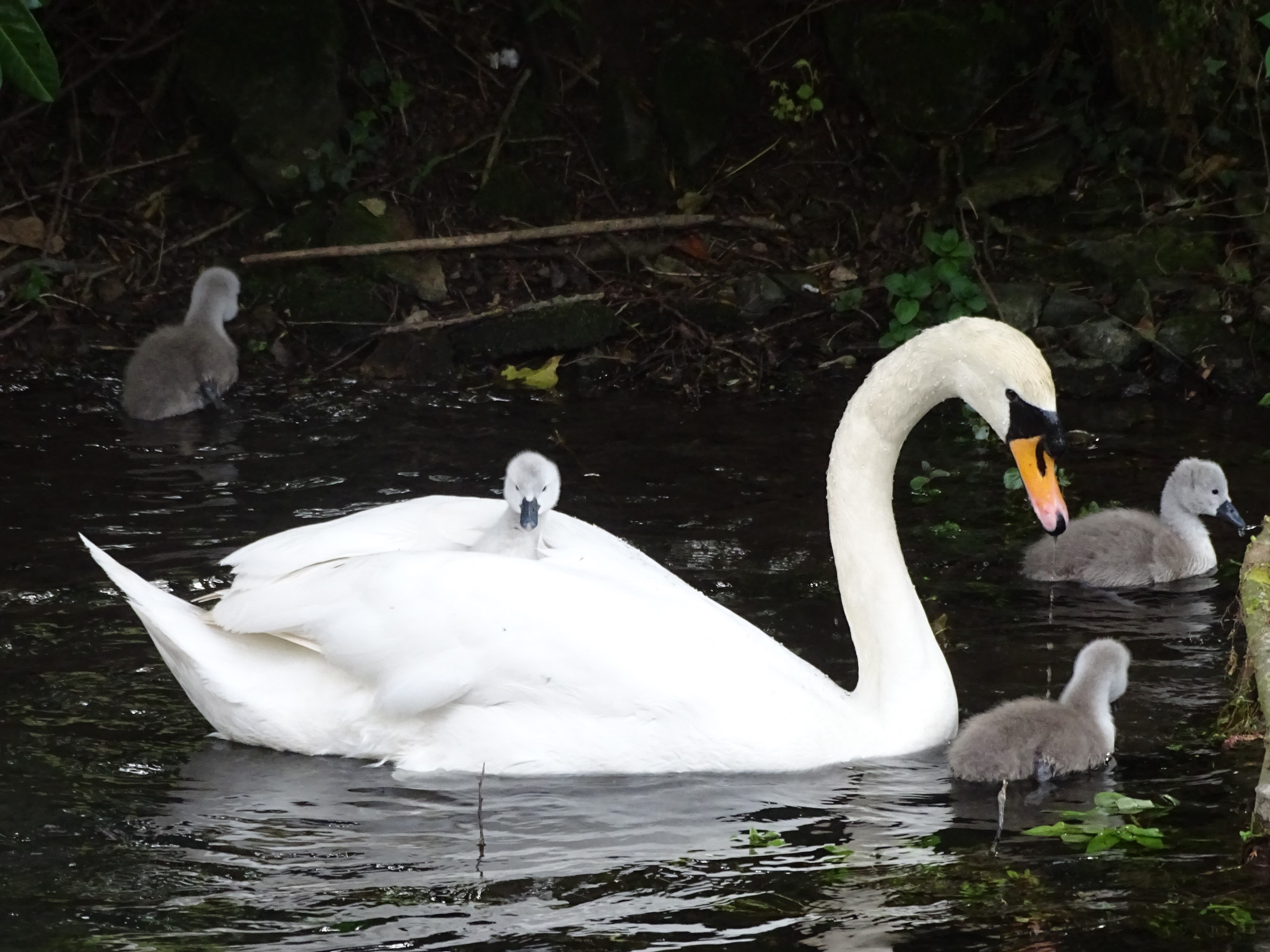 Bibury cool swan 2