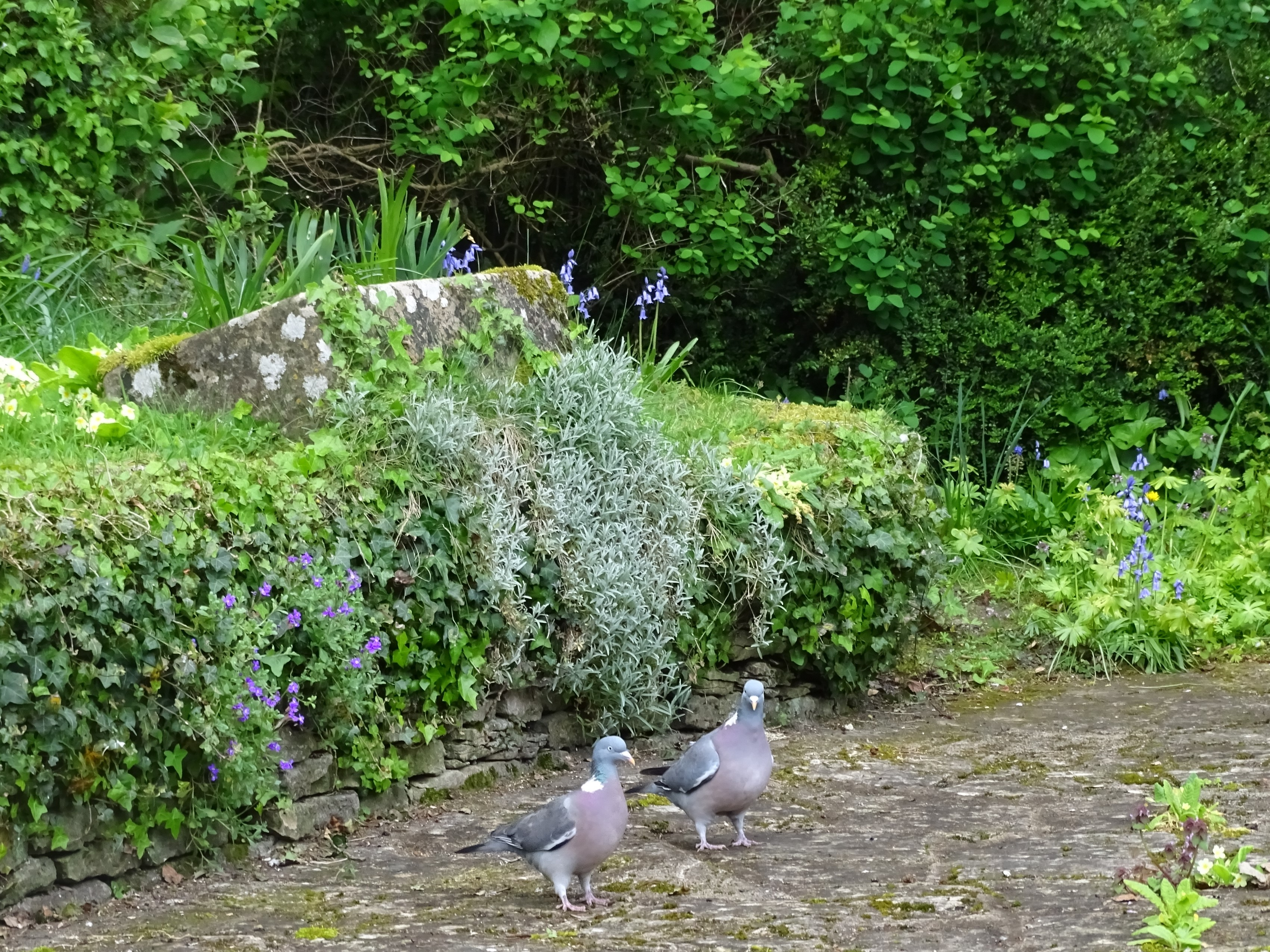 Bibury duiven