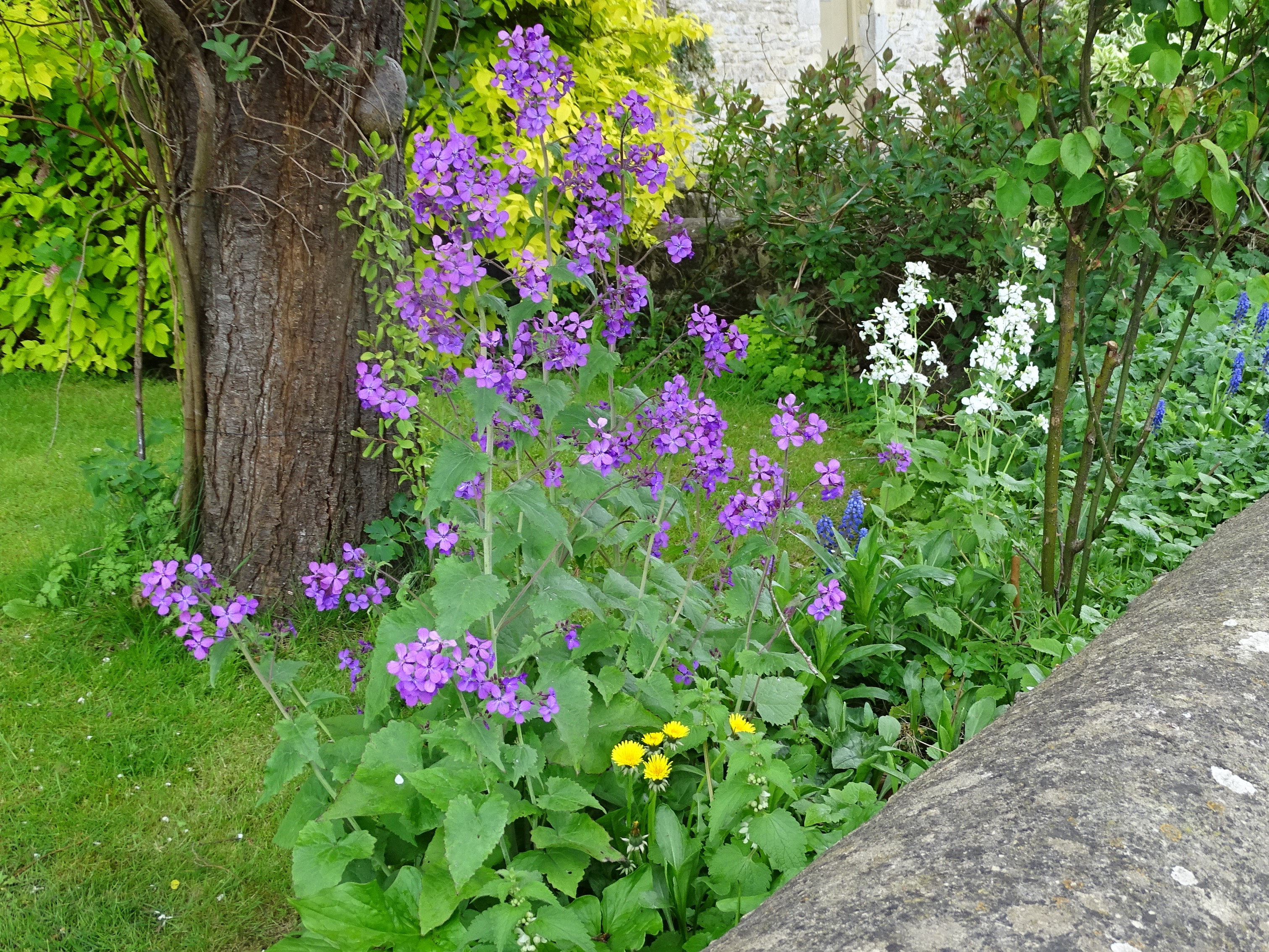 Bibury purple flowers
