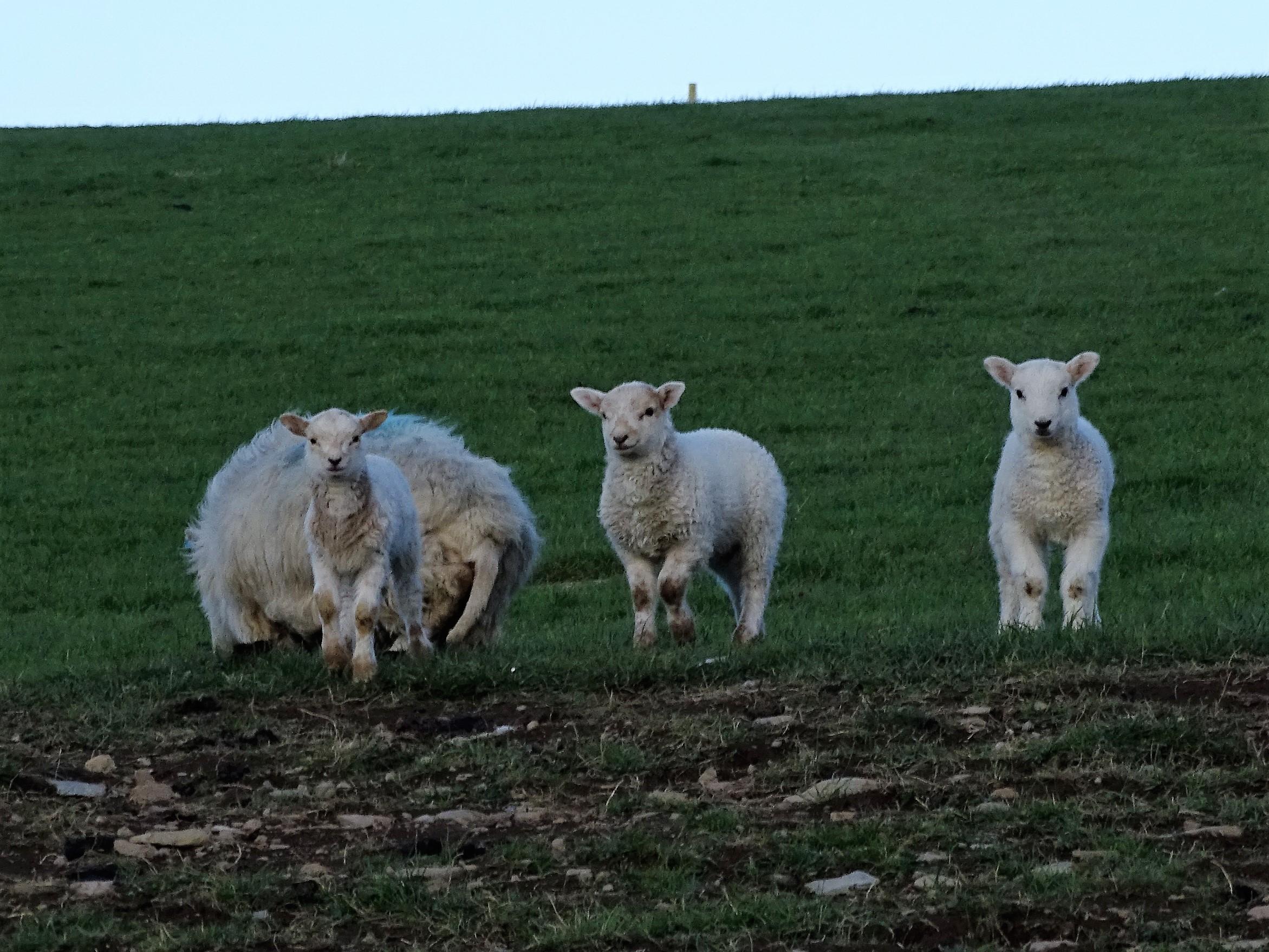 Snowdon 6 schaapjes