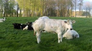 koe veld koeien bazel kruibeke
