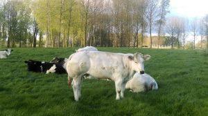koe koeien veld groen bazel kruibeke