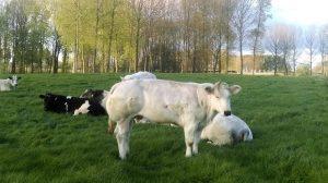 koe koeien bazel kruibeke fietstocht blog