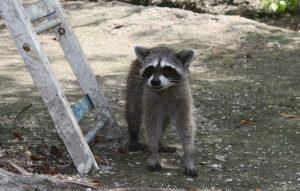 isla Holbox racoon wasbeer blog svrine