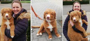 ruby toller retriever puppy
