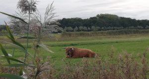 bruine harige koe galloway rund