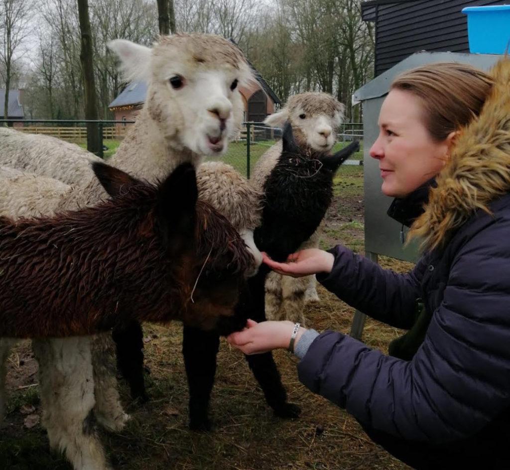 alpacawandeling alpacas knuffelen koewacht nederland alpacaworld