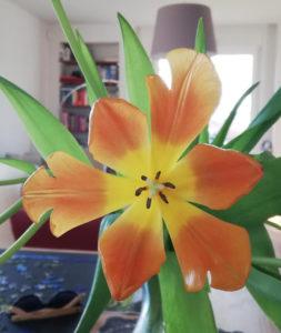 oranje tulpen coronavirus
